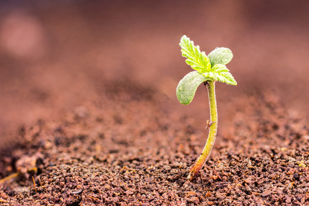 Small cannabis (hemp, Cannabis sativa) sprout growing from soil
