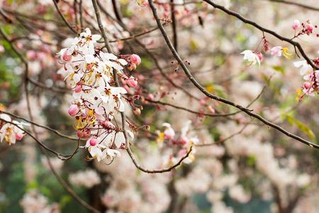 drumstick tree: Wishing tree, pink shower, cassia bakeriana craib Flowers in summer