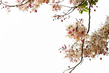 drumstick tree: Wishing tree, pink shower, cassia bakeriana craib  isolate on white