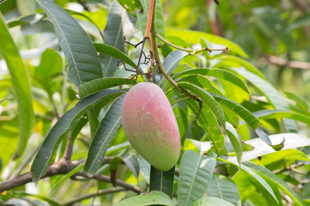 huge tree: Close up of mangoes on a mango tree