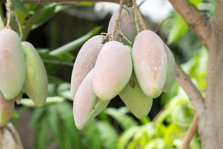 hojas de arbol: Primer plano de mangos en un �rbol de mango