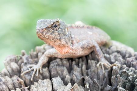 Close up Lizard on the log