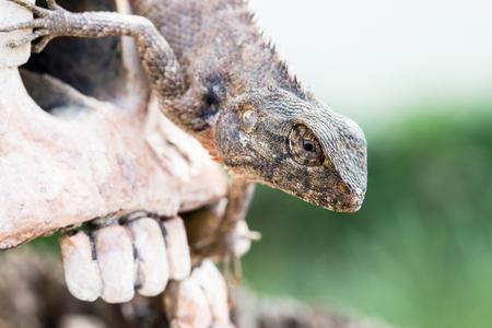frilled: Lizard in the eye of human skull