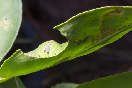 caterpillar worm: Green caterpillar worm on leaf