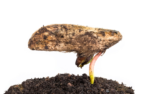 miracle leaf: a mango tree growing in a black soil on white background