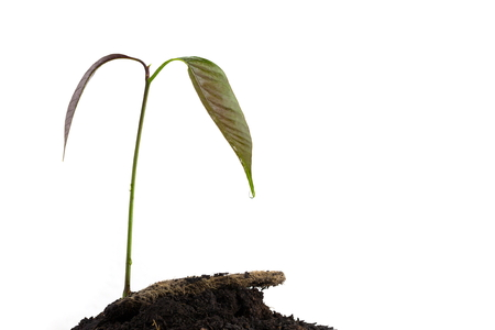 miracle tree: a mango tree growing in a black soil on white background