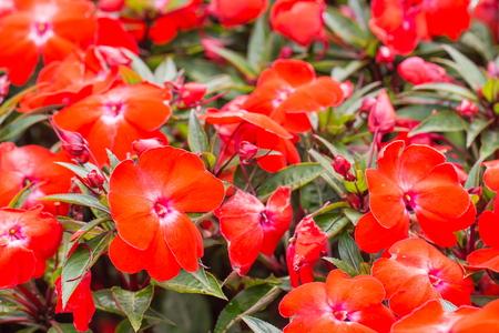 garish: Beautiful red flower at Mae Fah Luang Garden Stock Photo