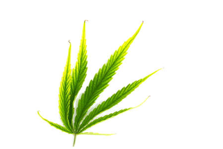 ganja: green leaf of canabis on white background