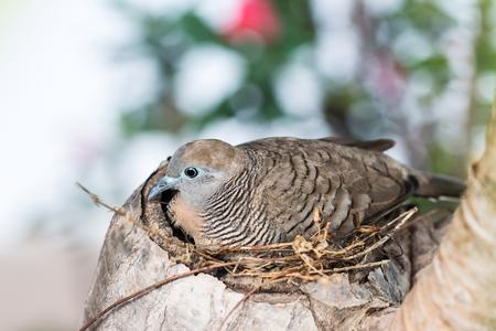 tropical evergreen forest: Zebra Dove (Geopelia striata) in Nest on tree