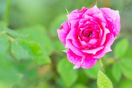 woo: roses flower blossoming in the garden
