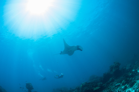 stingrays: Wonderful and beautiful underwater world with SCUBA diver playing with Stingrays