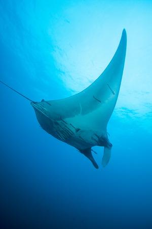 Manta rays floating underwater in the tropical ocean