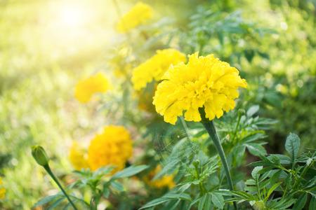 庭の花は美しいマリーゴールド (マンジュギク エレクター、メキシコのマリーゴールド、アステカ マリーゴールド、アフリカ マリーゴールド)。