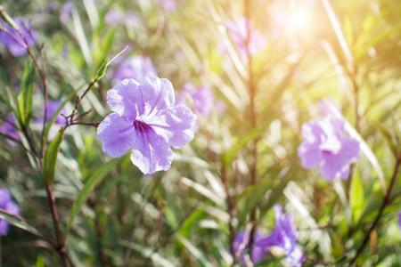 Bright of wild petunias (Ruellia tweediana / Ruellia squarrosa) The violet flowers as Ruellia tuberosa. water drop om, plants outdoor in a garden, natural sunlight.