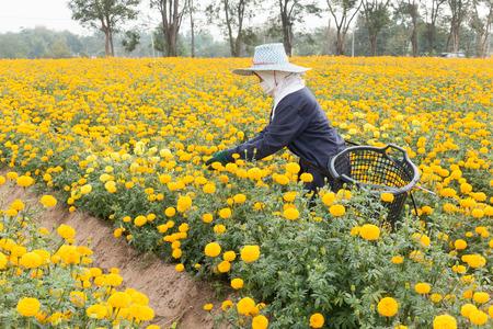 労働者は庭タイで美しい黄色のマリーゴールドの花を選んでいます 写真素材 - 95043648