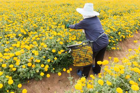 労働者は庭タイで美しい黄色のマリーゴールドの花を選んでいます 写真素材 - 95043655