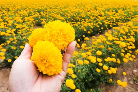 労働者は庭タイで美しい黄色のマリーゴールドの花を摘んでいます