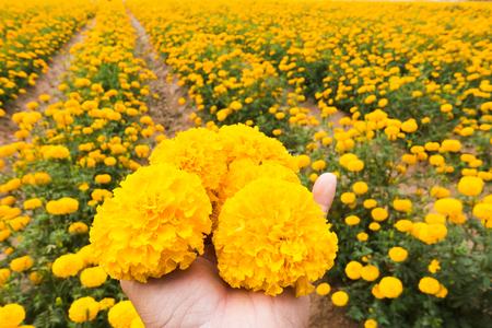 労働者は庭タイで美しい黄色のマリーゴールドの花を選んでいます 写真素材 - 95075898