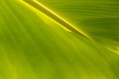 Green Banana leaf 写真素材