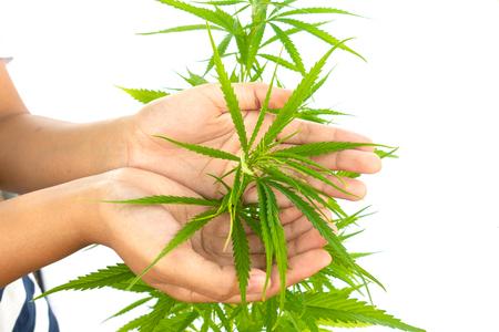 marijuana in hand on white background