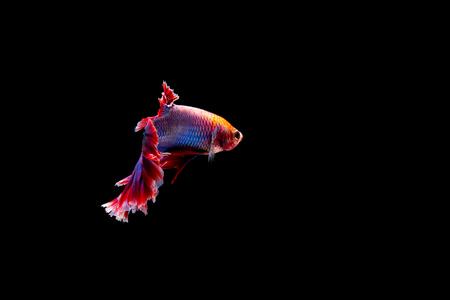 美しい自由ベッタ魚、半月より良い魚、ベタは黒い背景に孤立した泳ぎを素晴らしい 写真素材 - 102283642