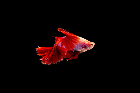 Beautifull freedom Betta fish, Half-moon better fish, betta splendens isolated swim on black background 写真素材 - 102408754