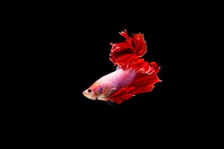 Beautifull freedom Betta fish, Half-moon better fish, betta splendens isolated swim on black background