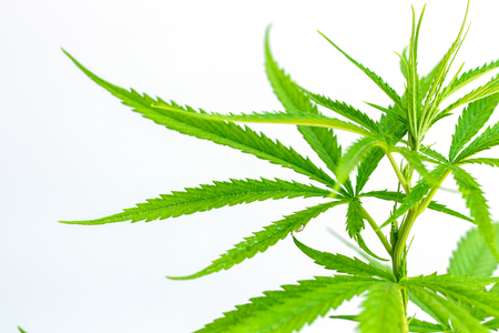 Marijuana leaves, cannabis on white background Banque d'images