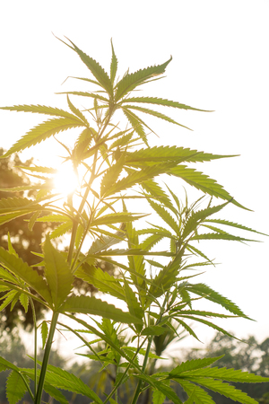 Plantation medical cannabis close-up in the rays of the dawn