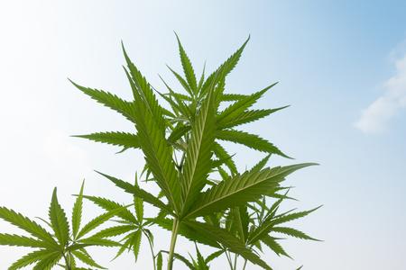 Plantation medical cannabis