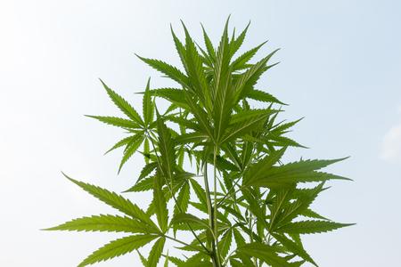 Plantation medical cannabis 写真素材 - 102277370