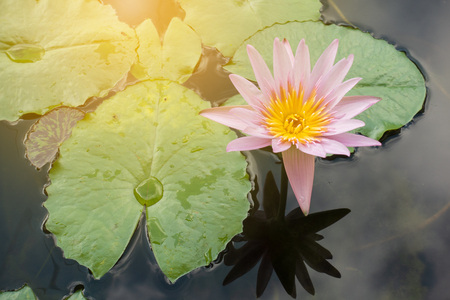 A beautiful pink waterlily, lotus flower in pond