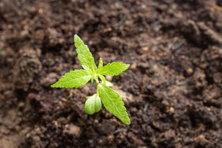 marijuana, Cannabis seedling close up on background
