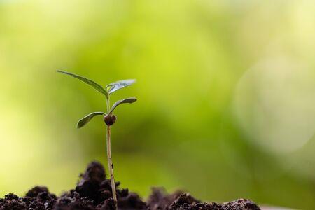 Baby cannabis plant. Vegetative stage of marijuana growing. Garden tools 写真素材