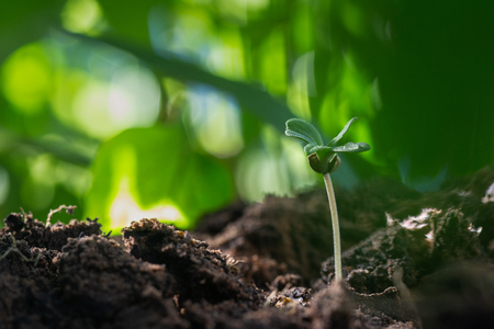 Drop water on the leaves marijuana, Cannabis seedling close up on background 写真素材