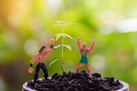 Marijuana, Cannabis seedling close up on background with model strong man in health concept. Morning light