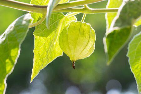 Fresh Cape Gooseberry ruit on Tree nature background 写真素材