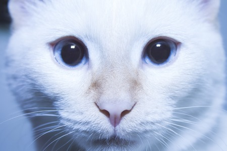 blue siamese cat: Siamese cat face white with blue eyes