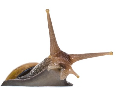 slithery: curious snail peeps out from behind cover on a white background
