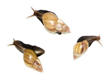 three big snails isolated on white mollusks Stock Photo