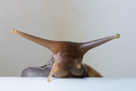 slithery: curious tree snail peeps out from behind cover on a white background
