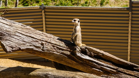 curious meerkat on hind legs in the zoo of the city of Adelaide South Australia. January 2017