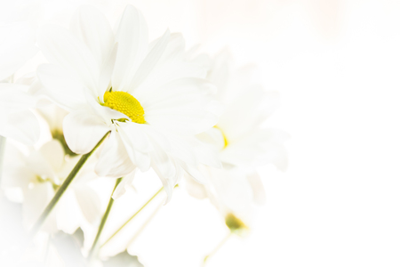 A bouquet of white chrysanthemums illuminated from within bathed in bright light Stock Photo