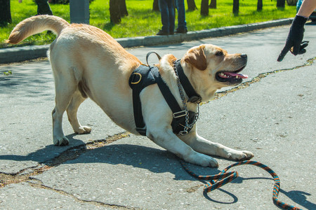 host: White trained labrador in the park on a leash obediently performs the commands of the host Stock Photo