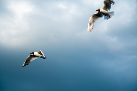 A flock of river gulls flies above the surface of the lakes water against the background of the sky and reeds