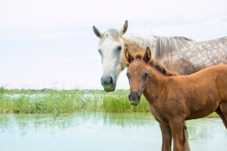 Mother horse and young foal near the pond symmetrically look at the frame Stock Photo