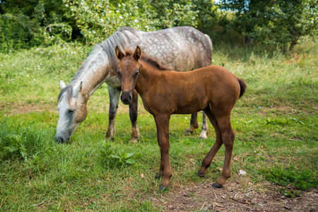 glitz: A gray horse with a foal is easy to graze near the village