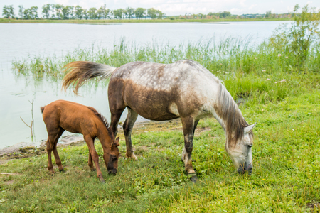camargue: A gray horse with a young foal calmly grazing near the pond