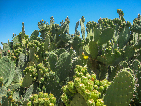Bushes of cacti in the desert of Tunisia against the backdrop of a bright sky
