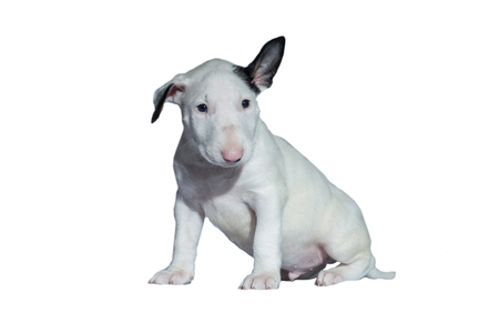 beautiful white bull Terrier puppy with a straight back at the dog show, on a white background